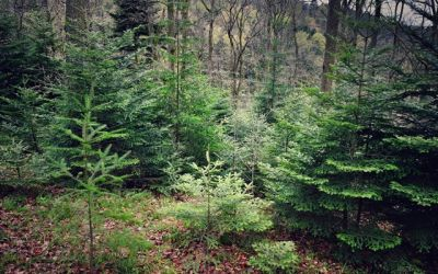 Douglas fir, silver fir and oak in Staufen Forest2 (L.Vitkova).jpeg